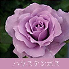 【バラ苗】 ペレニアル ハウステンボス【バラ新苗】 【4号】ペレニアル ハウステンボス 紫系