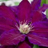 クレマチス【苗】パテンス ブラックティー 紫