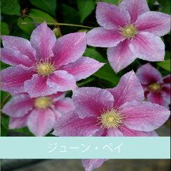 クレマチス【苗】パテンスジューン・ペイピンク系