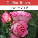 【予約苗】【バラ苗】 ギョー モニークブイグ 大苗 7号鉢 ピンク系