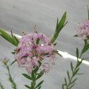 四季咲性の可愛らしいピンクの小花♪【常緑低木】ピメレア フォーシーズンズ