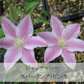クレマチス 苗 ジャックマニー スパークリング・ピンク ピンク系