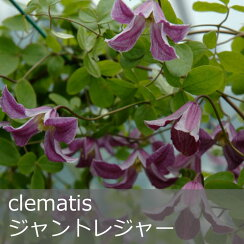 クレマチス【苗】ビチセラジョントレジャー青系