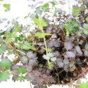 紫灰色の葉っぱのグラデーションが素敵【多年草】アカエナ イネルミス プルプレア