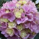 コンパクトな八重咲きアジサイアジサイ ユーミーシリーズ ユーミートゥギャザー ピンク 【H...