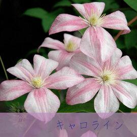 クレマチス【苗】ジャックマニー系キャロラインピンク系