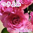 即納【バラ苗】 京阪ローズ F&G つきよみ  7号鉢 ピンク系【落葉中】【02P13Nov14】