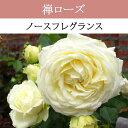 【予約苗】【バラ苗】 禅ローズ  ノースフレグランス 大苗 7号鉢 白系 FL