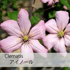 クレマチス【苗】パテンスアイノールピンク系