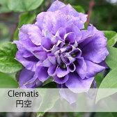クレマチス 苗 パテンス 円空(えんくう) 紫 八重【在庫限り】【数量限定】【残りわずか】