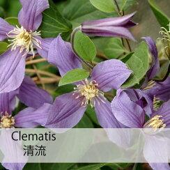 クレマチス【苗】インテグリフォリア清流(せいりゅう)青・紫系