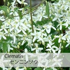 クレマチス【苗】フラミュラセンニンソウ白系