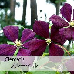 クレマチス【苗】ビチセラ系ブルー・ベル青系