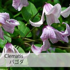 クレマチス苗テキセンシスパコダ紫系