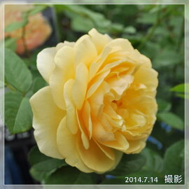 【バラ苗】オースチングラハムトーマス大苗7号鉢黄系CL