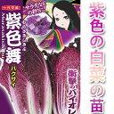 紫色の白菜 苗 「紫色舞」【野菜苗】【秋植え野菜苗】【予約苗】 【05P21Aug14】
