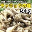 ラッキョウ(らっきょう)の種 球根 500g(充填時)【2017年発送中】