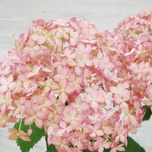ピンクアナベル かわいいピンクで人気ピンクアナベル アメリカアジサイ 珍しいピンク 限定商品...