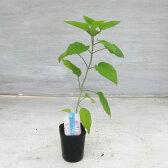 【落葉低木】 アナベル 白花アジサイ 9センチポット