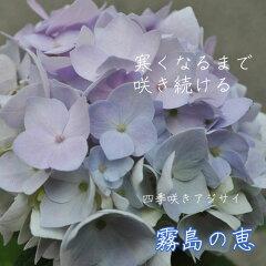 寒くなるまで咲き続ける四季咲きアジサイ 霧島の恵