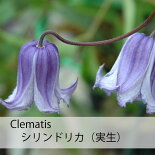 クレマチス【苗】インテグリフォリアシリンドリカ(実生)青・紫系