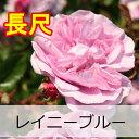レイニーブルー【バラ長尺苗】京成バラ園 レイニーブルー 大苗【HLS_DU】【05P01Mar15】