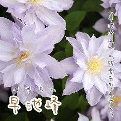 クレマチス【苗】パテンス早池峰(はやちね)青・紫系