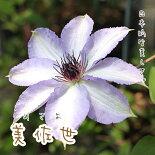 クレマチス【苗】パテンス美佐世青・紫系