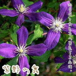 クレマチス【苗】ビチセラ紫野の舞青系