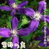クレマチス 苗 ビチセラ 紫野の舞 青系 【在庫限り】【数量限定】【残りわずか】