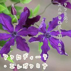 クレマチス【苗】インテグリフォリアアフロディーテ・エレガフミナ青・紫系