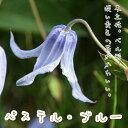 クレマチス【苗】 インテグリフォリア パステル・ブルー  青・紫系