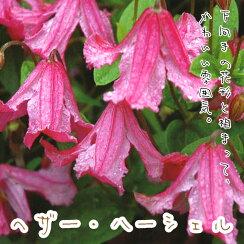 クレマチス【苗】インテグリフォリアへザー・ハーシェルピンク系