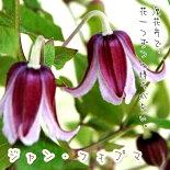 クレマチス【苗】インテグリフォリアジャン・フォプマ青・紫系