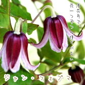 クレマチス【苗】 インテグリフォリア ジャン フォプマ  青・紫系 半つる性