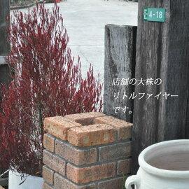 【常緑高木】【希少】【レア】ドドナエアリトルファイヤー9cmポット