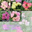 【プリムラ】プリムラジュリアン バラ咲き 八重咲き 4POTセット 選べる5色 【苗】