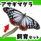 アサギマダラ飼育(幼虫・アサギ草)セット【予約販売】【限定販売】【納期指定不可】