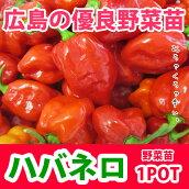 野菜苗トウガラシハバネロ苗