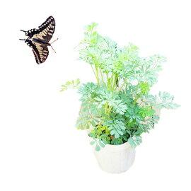 アゲハチョウの餌アゲハソウアゲハ蝶飼育1POT