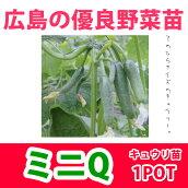 野菜苗キュウリミニQ実生