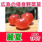 野菜苗トマト麗夏苗