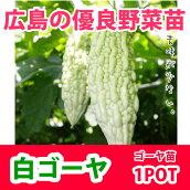 野菜苗ゴーヤニガウリ白ゴーヤ白レイシ苗