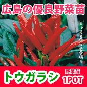 野菜苗トウガラシタカノツメ鷹の爪実生苗