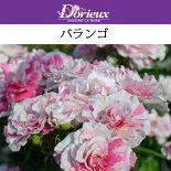 【予約苗】【バラ苗】ドリュバランゴ大苗7号鉢白にピンクの絞りNEW