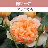 【予約苗】【バラ苗】禅ローズアンゲリカ大苗7号鉢アプリコットFLNEW