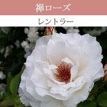 【予約苗】【バラ苗】禅ローズレントラー大苗7号鉢白HTNEW