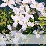 クレマチス 苗 モンタナ 金色(こんじき) 白系【在庫限り】【数量限定】【残りわずか】