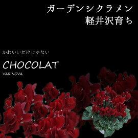 【花苗】軽井沢育ちガーデンシクラメンショコラ