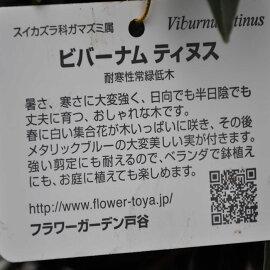 【常緑低木】ビバーナムティヌス常緑ガマズミトキワガマズミ5号鉢